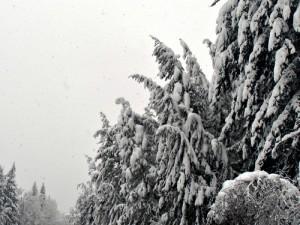 RT2 Snow Trees